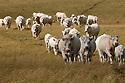 18/07/05 - LA GAZELLE - CANTAL - FRANCE - Estives sur le Cezalier. Elevage de vaches allaitantes du GAEC VIDAL - Photo Jerome CHABANNE