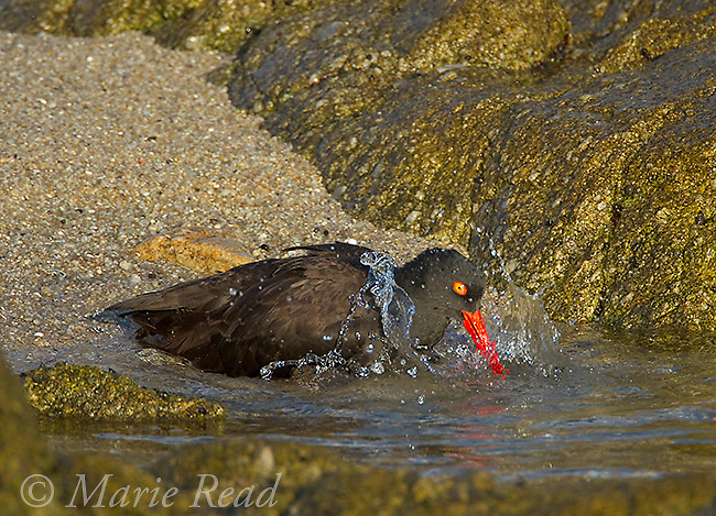 Black Oystercatcher (Haematopus bachmani), bathing, Monterey Peninsula, California, USA