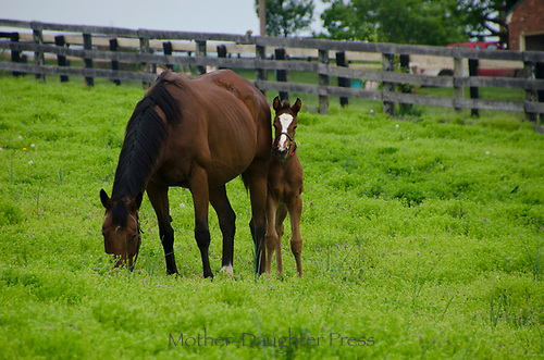 Foal looks as mother grazes, Kentucky horse farm, USA