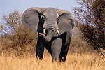 After escorting a family group safely through the African bush, a massive African elephant turns to face a perceived threat in Tarangire National Park in Tanzania.