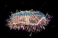 flower hat jelly or jellyfish, Olindias formosa (c), a rare hydromedusa with fluorescent tentacle tips, found off Brazil, Argentina, and southern Japan
