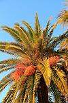Date palm tree in Vejer de la Frontera, Cadiz Province, Spain