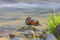 Drake (male) Harlequin duck in the headwaters of the Gulkana river, Interior, Alaska
