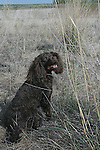 American Water Spaniel at a field trial Shopping cart has 3 Tabs:<br />