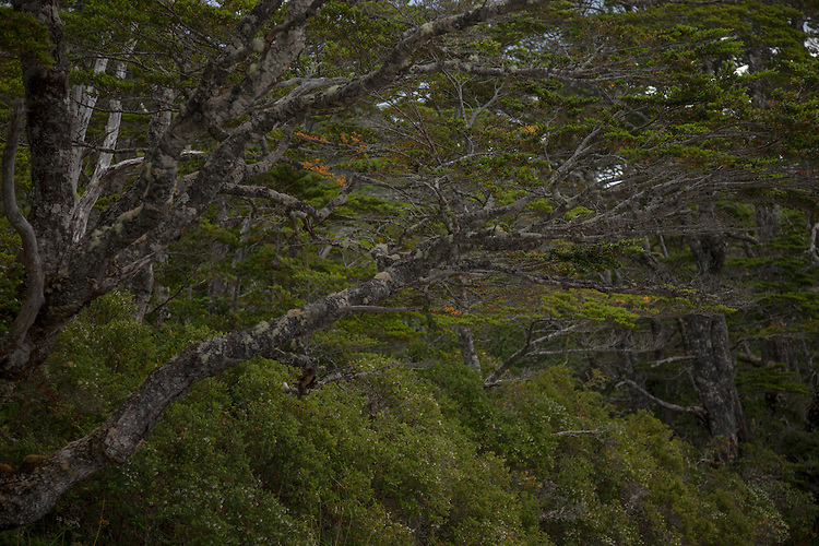 A lush, green beech rainforest is found along the shores of the Straits of Magellan, Chile