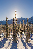 Winter boreal forest in the foothills of the Brooks Range, Arctic, Alaska