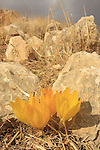 Judea, Sternbergia clusiana in the Judean mountains