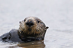 Sea Otter (Enhydra lutris) female, Elkhorn Slough, Monterey Bay, California