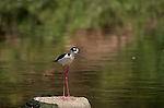 Black-necked Stilt Los Angeles River Southern California