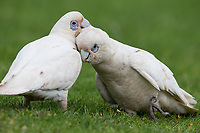 Little Corella (Cacatua sanguinea gymnopis), pair preening each other in Rymill Park in Adelaide, Australia.