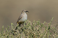 581970011 a wild lecontes thrasher toxostoma lecontei perches on a desert plant in kern county california united states