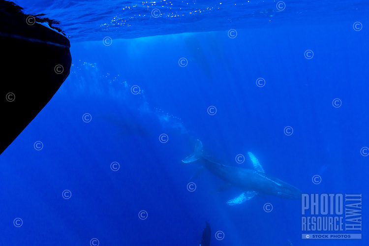 An underwater view of a pod of humpback whales as they swim near a boat off the coast of Maui.