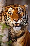 Tiger portrait. (captive)