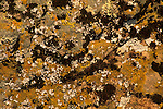 Lichen on Rock, Briones Regional Park, Contra Costa County, California