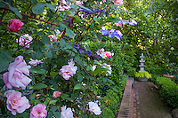 Blue flowering clematis vine entertwined with roses on arched metal pergola climbing structure along brick path with stone pedestal in California garden
