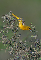 Baltimore Oriole, Icterus galbula, female eating berry from Lotebush (Ziziphus obtusifolia) , Starr County, Rio Grande Valley, Texas, USA, May 2002
