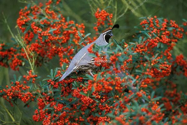A Gambel's Quail, Callipepla gambelii, feeding on Pyracantha berries; Sonoran Desert, Arizona