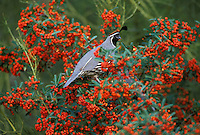 A Gambel's Quail, Callipepla gambelii, feeding on Pyracantha berries; Sonoran Desert, Arizona