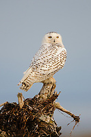 Snowy Owl (Bubo scandiacus) during the 2011/2012 winter irruption. Boundary Bay, Canada. March.