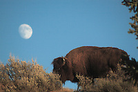 Bull bison, full moon, Grand Teton National Park, Jackson Hole,
