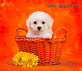 Xavier, ANIMALS, REALISTISCHE TIERE, ANIMALES REALISTICOS, dogs, photos+++++,SPCHDOGS1009,#A#, EVERYDAY