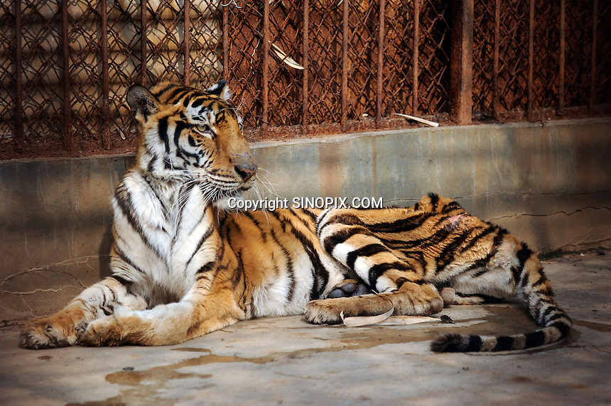 A skinny tigers in a cage at the Xiongshen Tiger and Bear Park in Guilin China. The park has farmed 1500 tigers and sells an illegal tiger bone wine to tourists that visit the park.