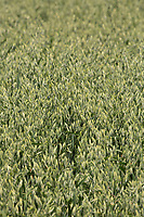 Oats<br /> &copy;Tim Scrivener Photographer 07850 303986<br />      ....Covering Agriculture In The UK....