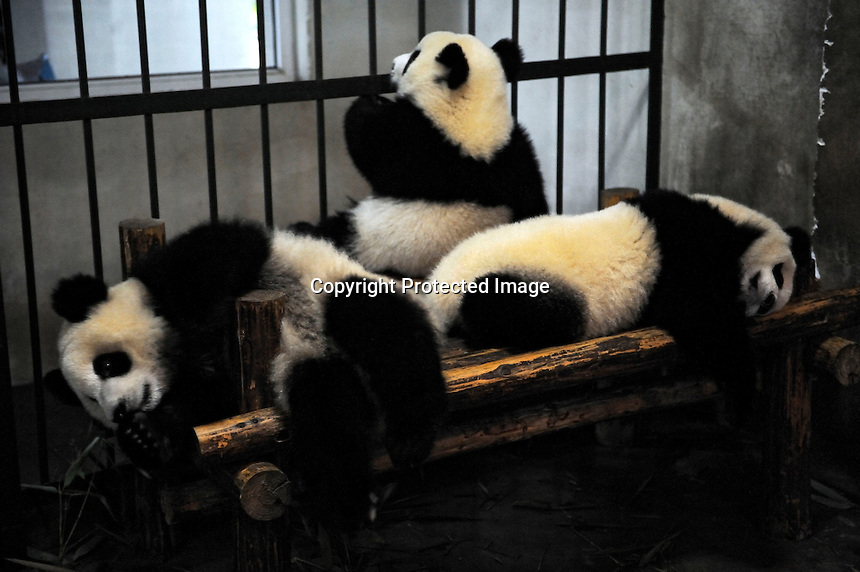 Three old-year-old pandas at Chengdu Pandas Base in Sichuan province, China. 23-Jul-2010