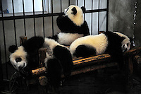 Three old-year-old pandas at Chengdu Pandas Base in Sichuan province, China. 23-Jul-2010