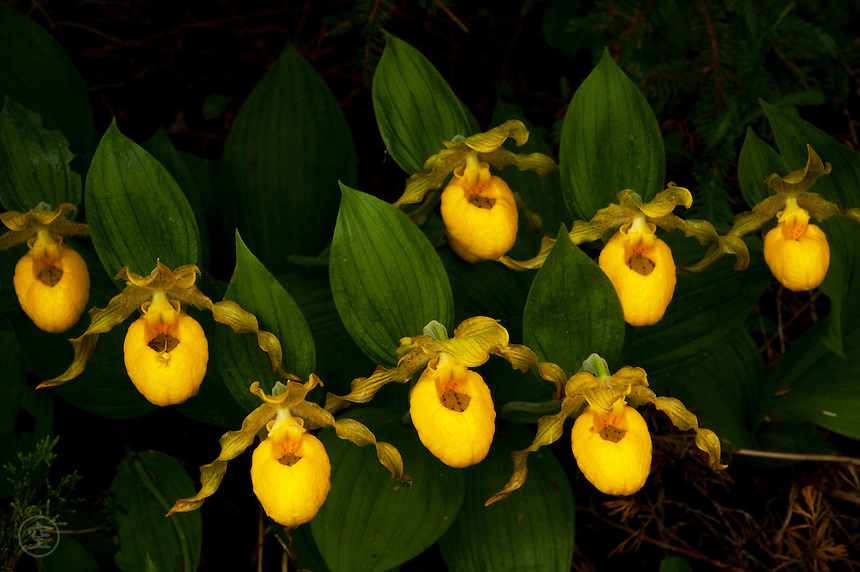 In June, beneath the cedar trees, in ragged woods in the beginning of the north, lady's slippers bloom, quietly, in cluster, yellow and perfect.