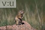 Richardson's Ground Squirrel (Spermophilus richardsoni) Estes Park, Colorado