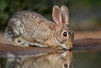 673280029 a wild desert cottontail rabbit sylvilagus audubonii drinks and sits at a small pond in the rio grande valley of south texas