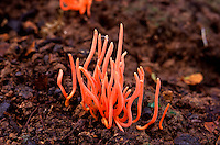 The Clavariaceae are a family of fungi in the Agaricales order of mushrooms. The family contains seven genera and 120 species. Collectively, they are commonly known as coral fungi due to their resemblance to aquatic coral, although other vernacular names include antler fungi, finger fungi, worm mold, and spaghetti mushroom are sometimes used for similar reasons.
