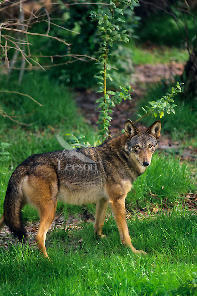 Red Wolf.Endangered species.  Southeastern U.S.A..(Canis rufus)
