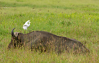 A Cattle Egret, Bubulcus ibis, walks on the back of a Cape Buffalo, Syncerus caffer caffer, in Lake Nakuru National Park, Kenya