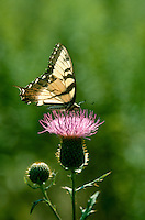 Butterfly on thistle with silhouette