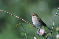 Red-backed Shrike, Lanius collurio, female, Oberaegeri, Switzerland, May 1995