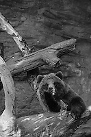 Grizzly Bear, Denver Zoo