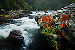 Spring maple saplings along the Chattooga River, Chattogooa National Wild and Scenic River, SC & GA