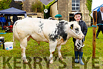 Joshua Cronin, walking the  Belgian Blue at Kilgarvan Show on Sunday