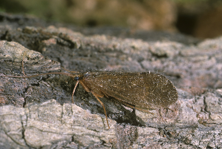 caddis fly<br /> Agapetes fuscipes