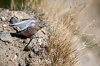 Brown-capped Rosy-Finch (Leucosticte australis), female stretching in the Rocky Mountain National Park, Colorado.