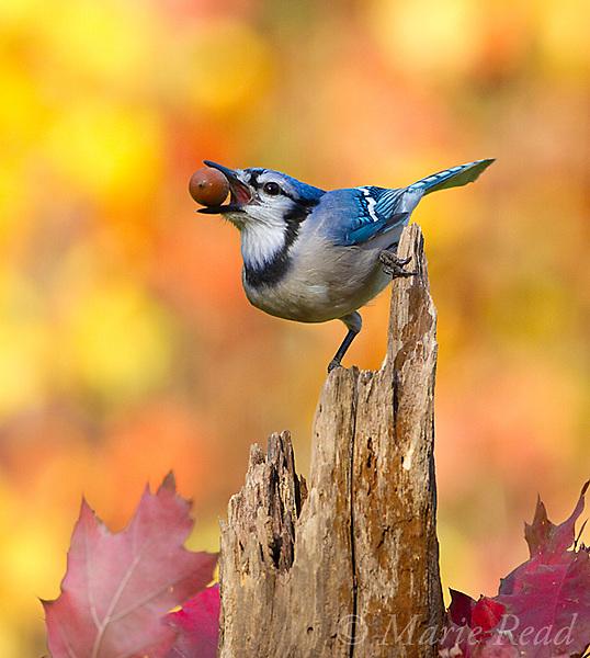 Blue Jay (Cyanocitta cristata) holding an acorn in its bill, autumn, New York, USA