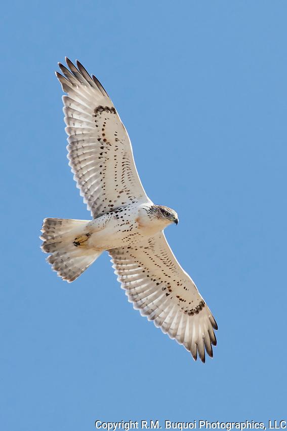 Juvenile Ferruginous Hawk