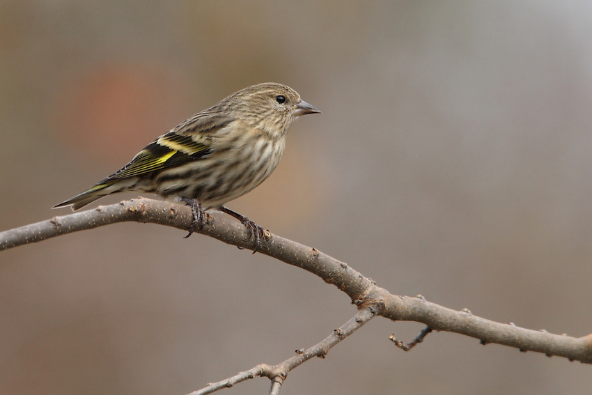 "The most common of the irruptive ""winter finches,"" the Pine Siskin often remains on the wintering grounds long enough to breed."