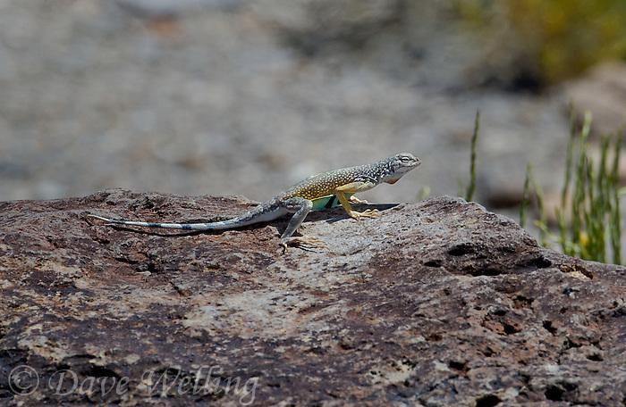 442880021 a wild male western zebra-tailed lizard callisaurus draconoides rhodostictus perches on a rock along fish slough road in mono county california