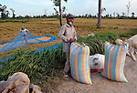 Agricultural workers bag rice that has dried in the sun near the village of Dong in northern Cambodia.