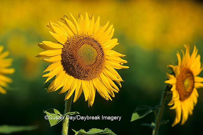 63821-00407 Common Sunflowers (Helianthus annus)    IL