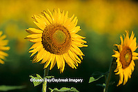 63821-00407 Common Sunflowers (Helianthus annus)    IL