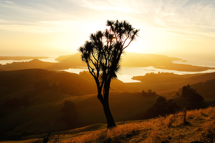 A cabbage tree silhouetted at sunrise. Towards Harbour Cone, Hoopers Inlet & Taiaroa Head. Otago Peninsula, Dunedin, New Zealand - stock photo, canvas, fine art print